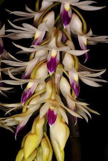 Dendrobium amethystoglossum.jpg