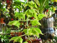 Catasetum alatum inflorescence