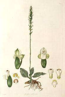 Goodyera pubescens plate.jpg
