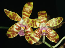 Phalaenopsis bastianii.jpg