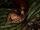 Cypripedium lichiangense