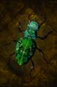 Crysocolla Beetle.png