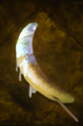 Frosted Crescent.png