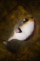 Pypherfish.png