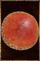 Mushroom Shield.png