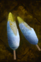Frosted Maize.png