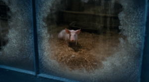 Wilbur watching over Charlotte's eggsac