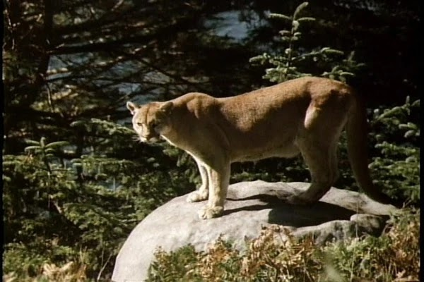 Cougar mother