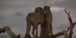 Duma with another cheetah