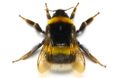 Bumblebee (disambiguation)