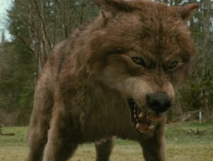 Jacob-Black-the-russet-wolf-9055281-457-351
