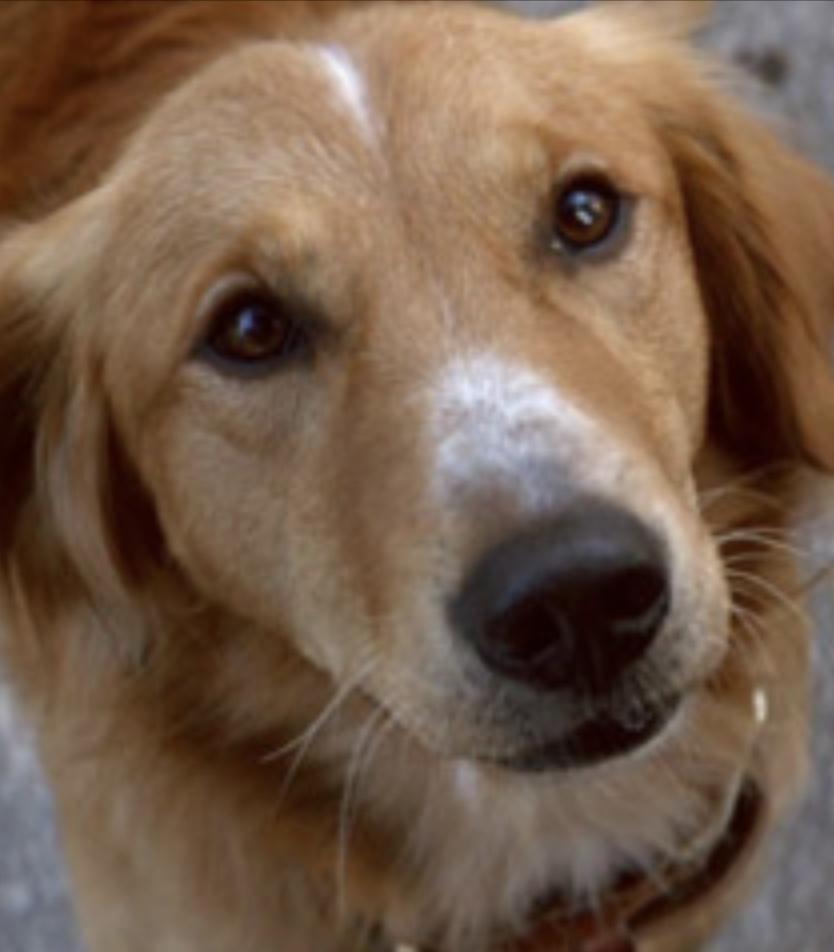 Bailey (A Dog's Purpose)