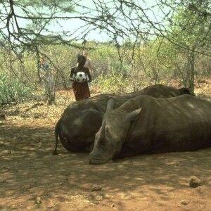 Morogo with rhinos
