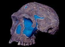 KNM ER 1813 discovered at Koobi Fora