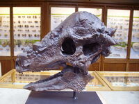 Skull of Pachycephalosaurus from Oxford University Museum of Natural History.