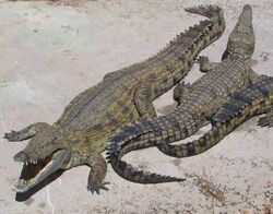Living archosaurs include crocodiles (pictured above) and birds.