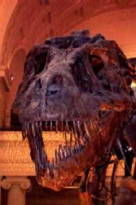 T. Rex skull, picture taken at Field Museum of Natural History, Chicago