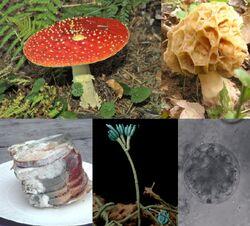 Clockwise from top left: Amanita muscaria, a basidiomycete; Morchella rotunda, an ascomycete; a chytrid; a Penicillium sporangium; black bread mold, a zygomycete.