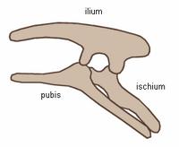 Ornithischian pelvic structure (left side)