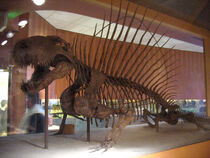 Dimetrodon grandis skeleton at the National Museum of Natural History.