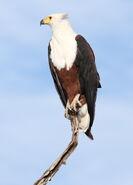 African fish eagle, Haliaeetus vocifer, at Chobe National Park, Botswana (33516612831)