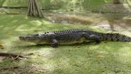 CITIRWN Crocodile