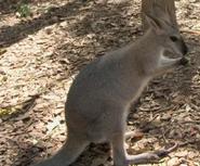 CITIRWN Wallaby
