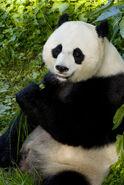 Female Giant Panda