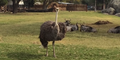 Fresno Zoo Ostrich