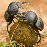 Male and Female Dung Beetles