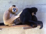 Male and female southern white-cheeked gibbons