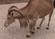 Natural Bridge Wildlife Ranch Aoudad