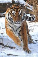 Siberian Tigress