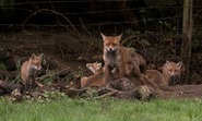 Skulk of Red Foxes