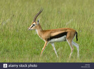 Thomson's Gazelle Buck