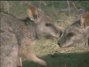 Amazing-animals-activity-center-wallaby