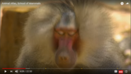 Animal Atlas Baboon