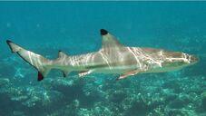 Carcharhinus melanopterus mirihi.jpg