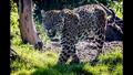 Chester Zoo Jaguar