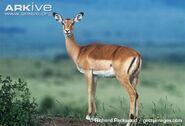 Female-impala