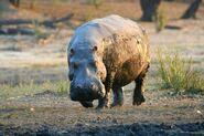 Hippopotamus, West African