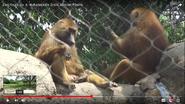 Indianapolis Zoo Baboons