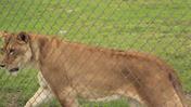 Lion Country Safari Lioness