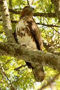 Madagascar-cuckoo-hawk4