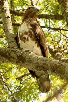 Madagascar-cuckoo-hawk4.jpg