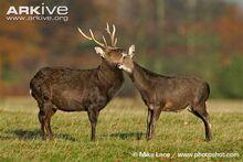 Male and female sika deer interacting.jpg