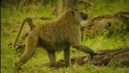 SRNGTI Baboon
