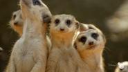 TMODAK Meerkats