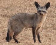 Bat-Eared Fox (V2)