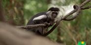 Bronyx Zoo TV Series Colobus